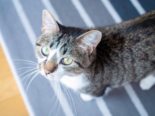 おねだり目線の猫