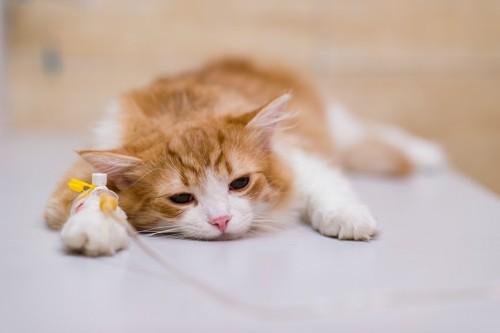 病院で点滴をしている猫