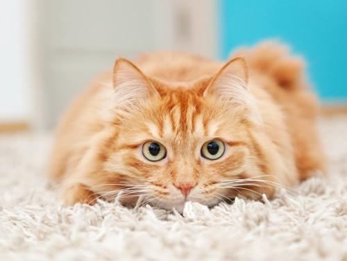 カーペットの上に伏せてこちらを見る猫