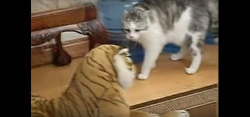 トラを睨みつける猫