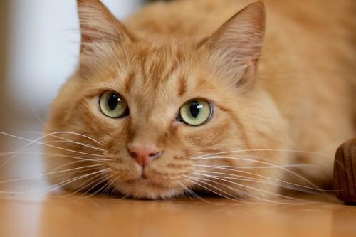 落ち着いている猫の表情