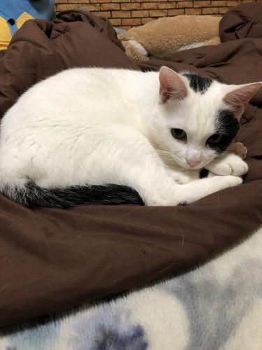 白黒ぶちの猫