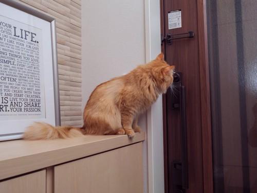 玄関の棚に乗って扉を見つめる猫