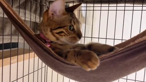 ケージのハンモックに入る猫