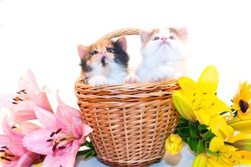 カゴバッグに入った二匹の子猫と百合の花