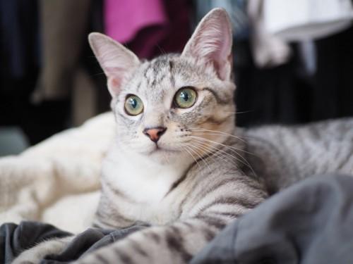 ママの服の上でくつろぐ猫