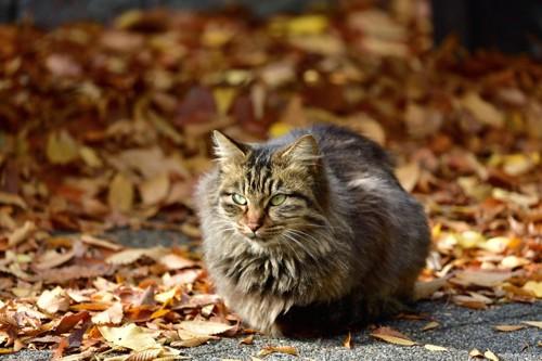 長毛主の野良猫