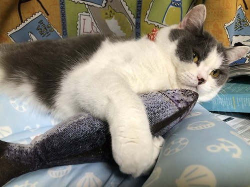 魚のクッションを抱きしめている猫