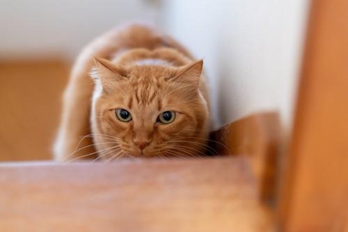 階段の下から狙う猫