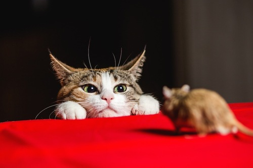 机の上のネズミを見つめる猫