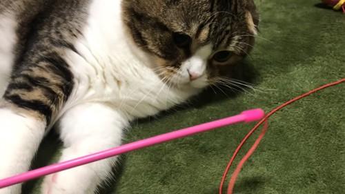 棒を見つめる猫