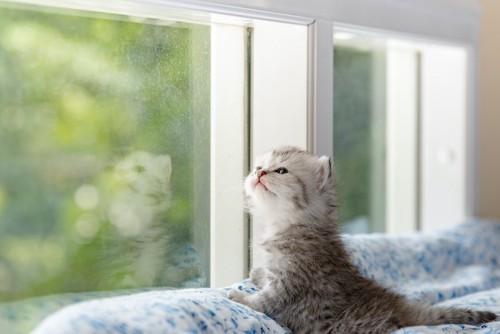 窓から外を眺める子猫