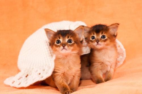 白い帽子を背中にのせた二匹のソマリの子猫