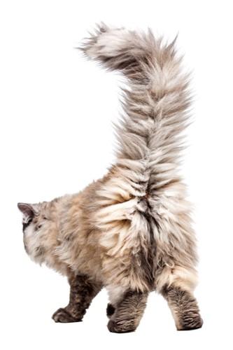 尻尾を上げた長毛猫の後ろ姿
