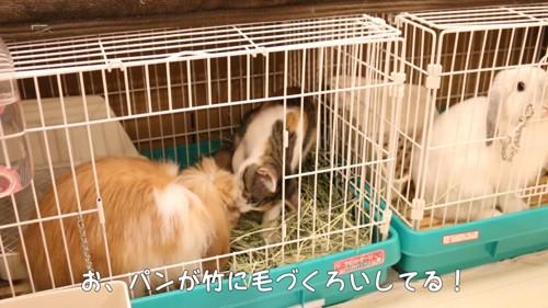 ウサギを毛づくろいする猫