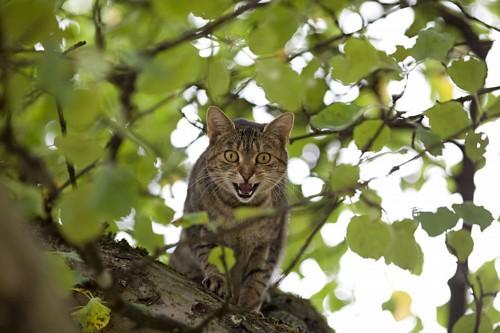 木の上でこっちに来るなーと怒る猫