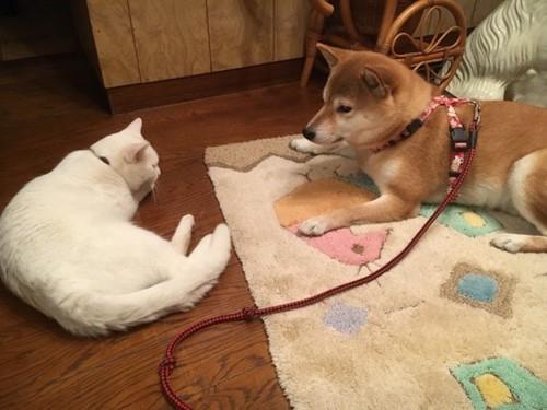 床に寝そべって向かい合う白猫と柴犬