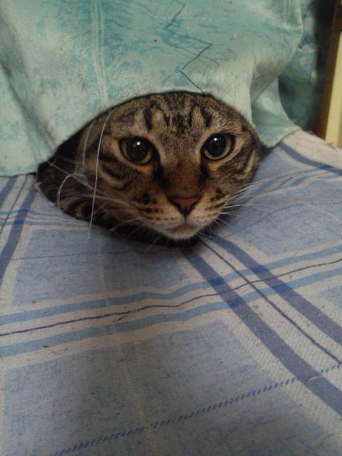 カーテンから顔だけ出している猫