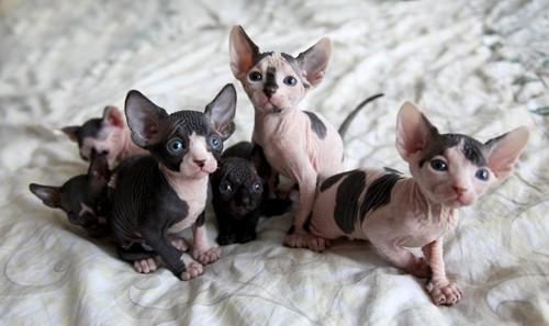 スフィンクスの子猫たち