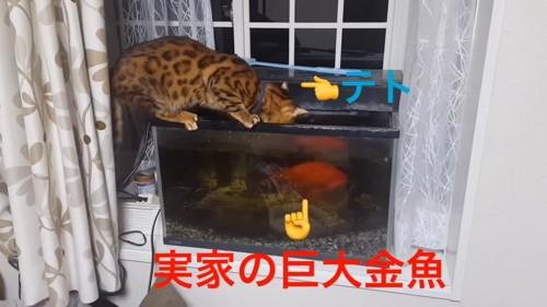 水槽をのぞく猫