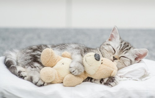 ぬいぐるみを抱えて寝る子猫