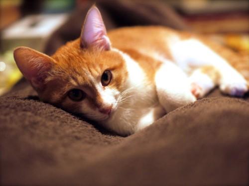 #茶色の毛布の上で横たわる猫#