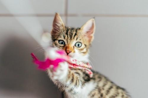 おもちゃを捉える猫