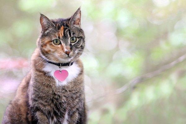ハートのタグのついた首輪をする猫