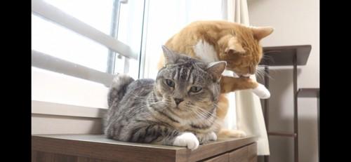 自分の手を舐める猫とカメラ目線の猫