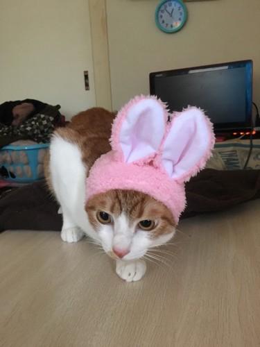 ウサギの耳を付けた茶トラ白
