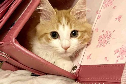 ランドセルに入ってまどろむ猫