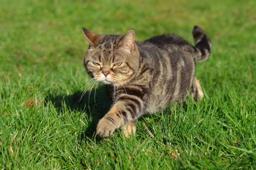 不満顔で歩く猫