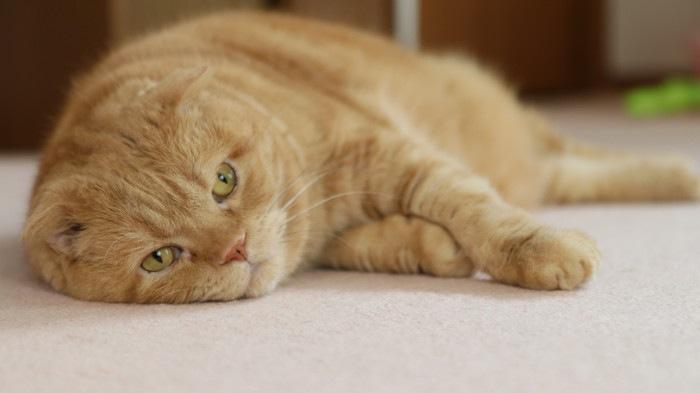 寝転がる茶色の猫