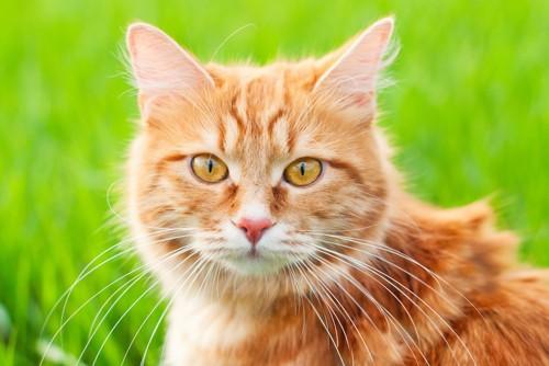 草原にいる猫の顔