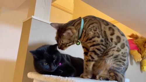 黒猫に近づくベンガル