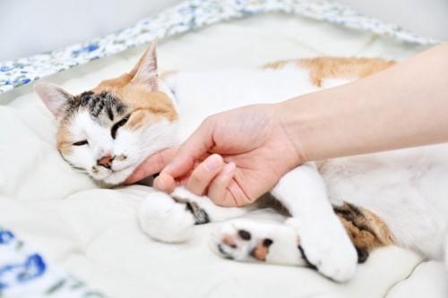 寝ている猫を触る人