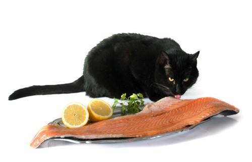 お皿にのった鮭をなめる猫