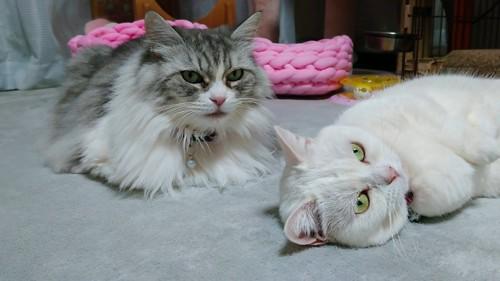 座る猫と寝転ぶ猫