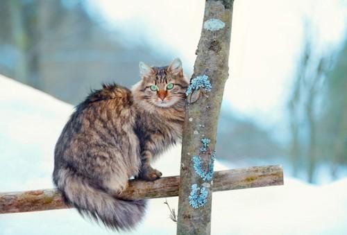 気のフェンスに座るサイベリアン