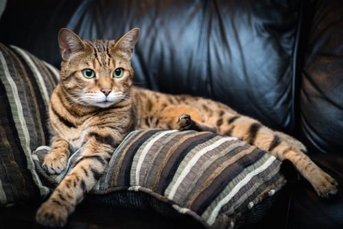 ソファーの上でくつろぐベンガル