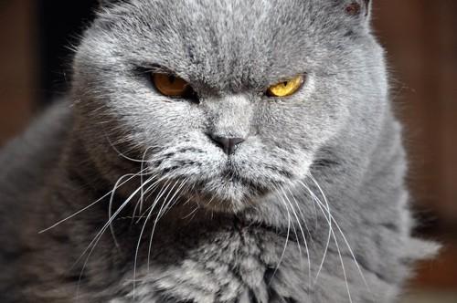 不機嫌そうな表情のグレーの猫