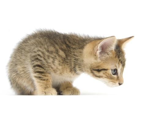 子猫が匂いを嗅ぐ