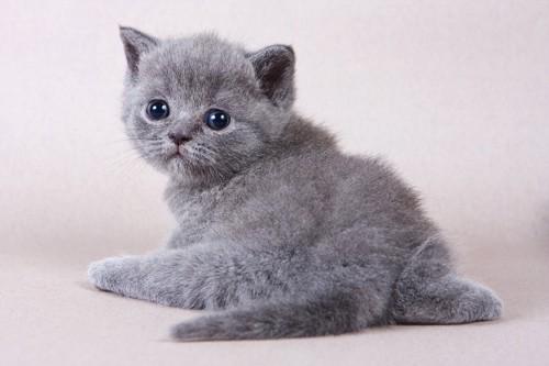 お尻を向けて振り返っているグレーの子猫