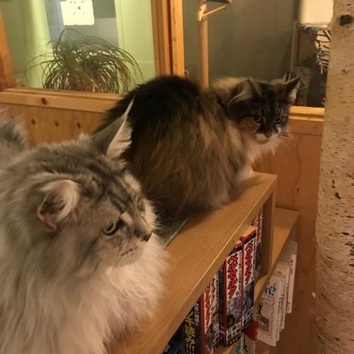 本棚の上の2匹のきたねこ家の猫
