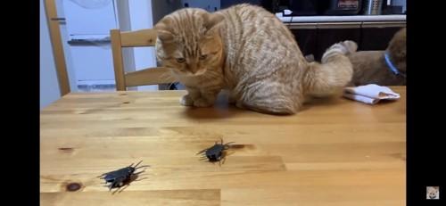 オモチャのゴキブリを見つめる猫