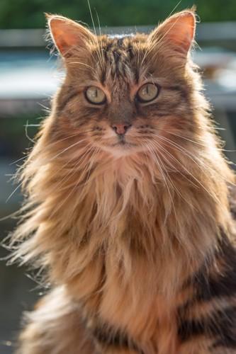 おすわりして前を見つめるたてがみのある茶色の長毛猫