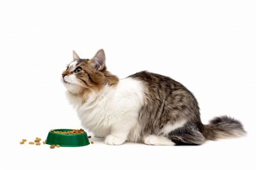 ごはんが入った緑色の前で見上げる猫