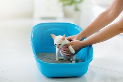 トイレに誘導される子猫