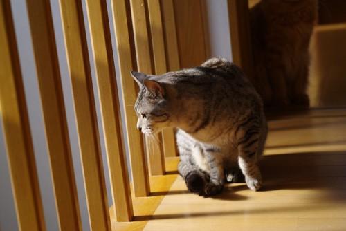 格子をのぞく猫