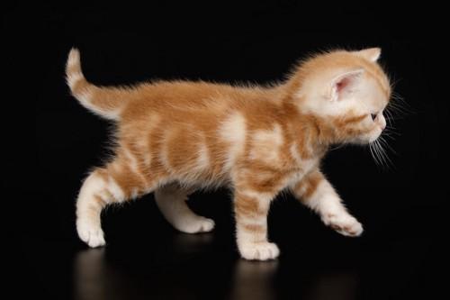 横に歩いていくアメリカンショートヘアの子猫